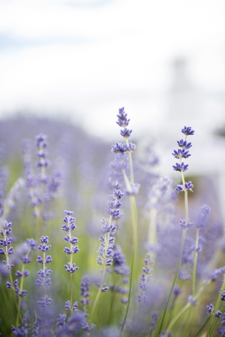lavender,wedding inspiration,photoshoot,wedding ideas,
