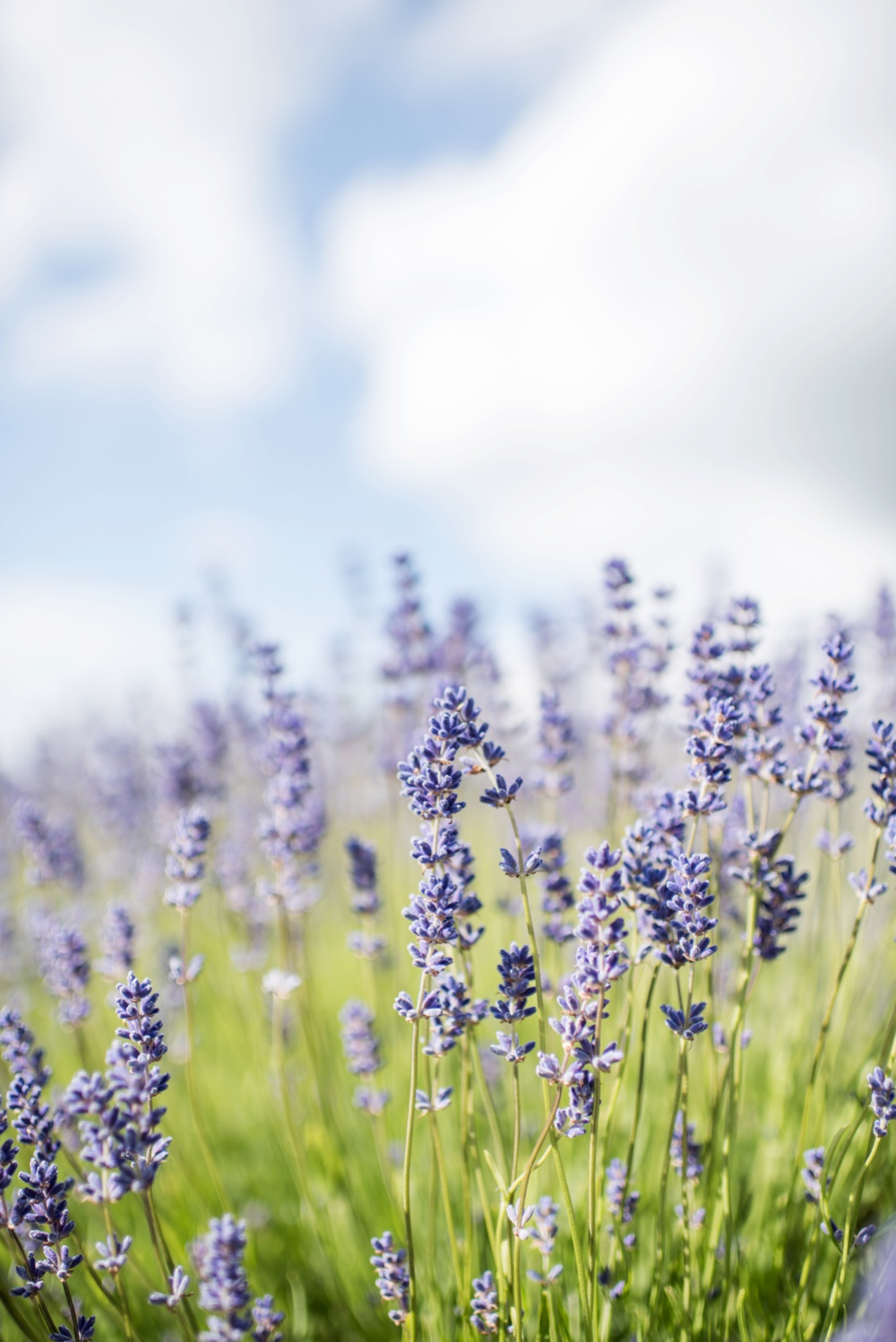shoot,wedding,inspiration,english lavender,lavender wedding